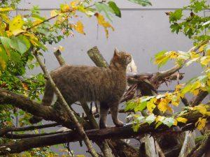 Die Wildkatze ist eine nachtakive Jägern © Wolfgang-Muhr.jpg
