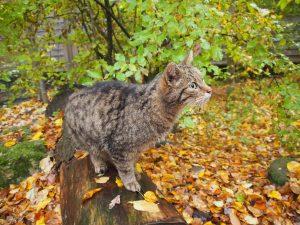 Wildkatzenfütterung im Nationalpark Thayatal © Wolfgang Muhr
