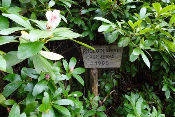 Baron Rothschild hat den Rhododendron vor mehr als hundert Jahren nach Österreich gebracht ©Alexandra Gruber