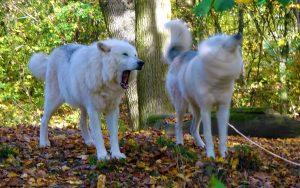 Die Wölfe Una und Nanuk im Wolfsforschungszentrum in Ernstbrunn © Alexandra Gruber